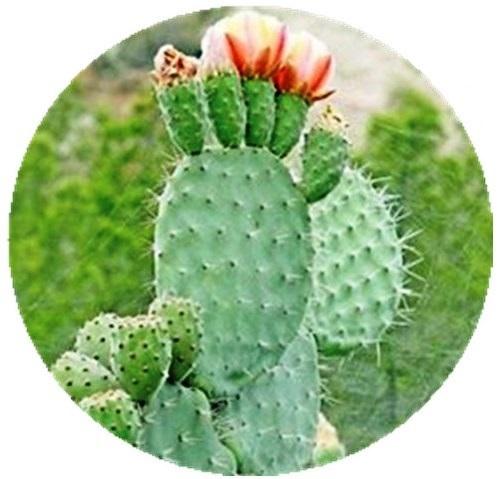 Бушменский кактус Худия Гордони